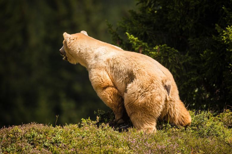 Bär Napa
