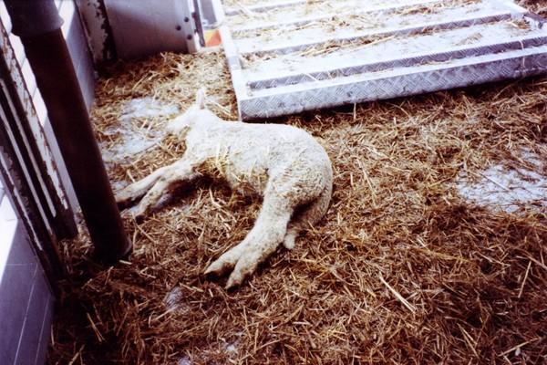 Totes Schaf in einem Transportanhänger