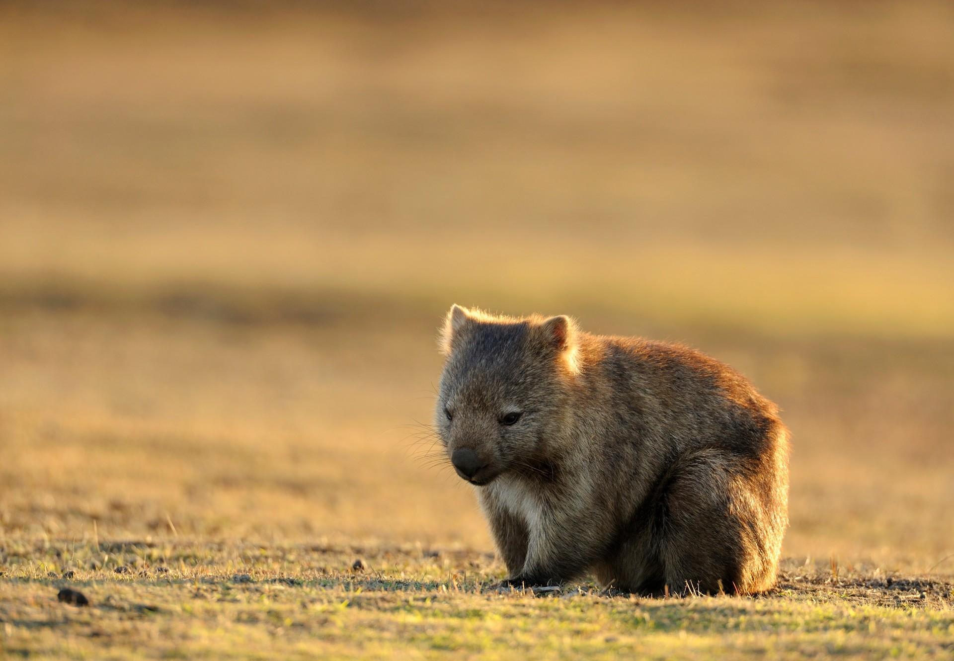 Wombat in Australia bushfires
