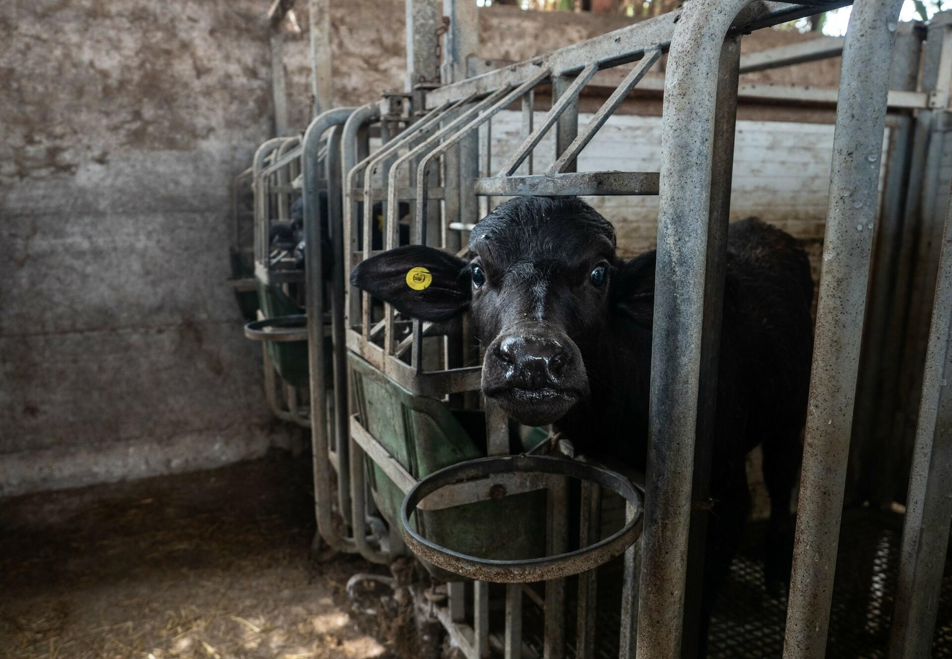 Buffalo calves suffer from extreme cruelty