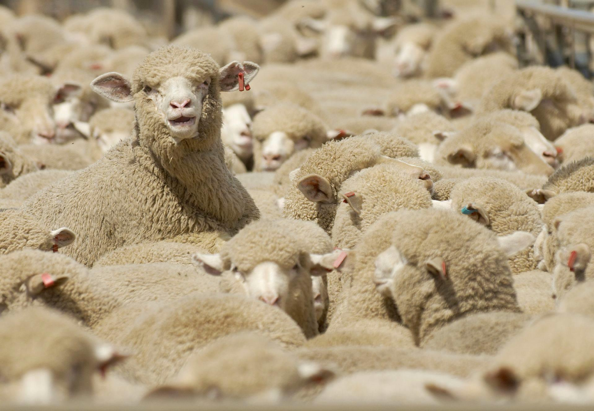 Sheep for wool production