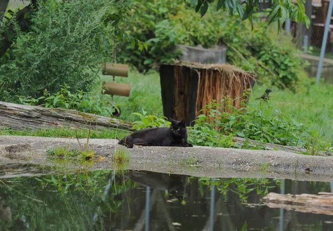 Schwarzer Kater liegt beim Teich und schaut aufmerksam