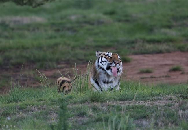 Tigress Juno in 2019