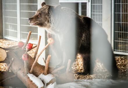 Bear Jambolina arrives at Arosa Bear Sanctuary