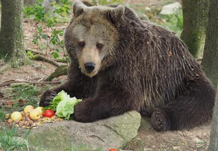 Bärin Brumca beim Essen