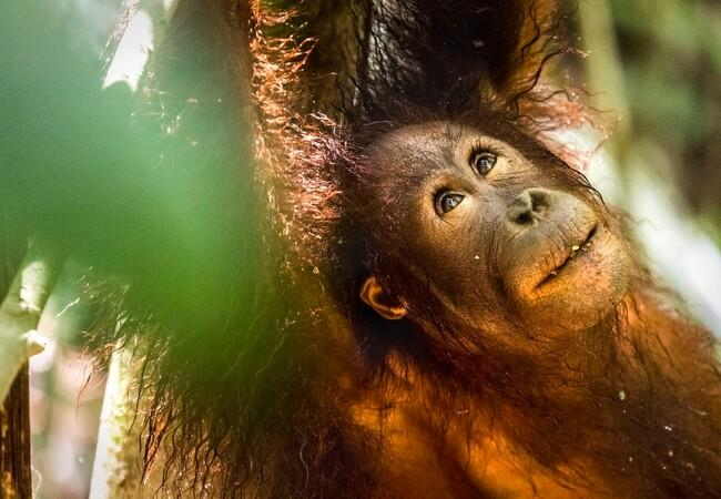 Orangutan Eska in the forest