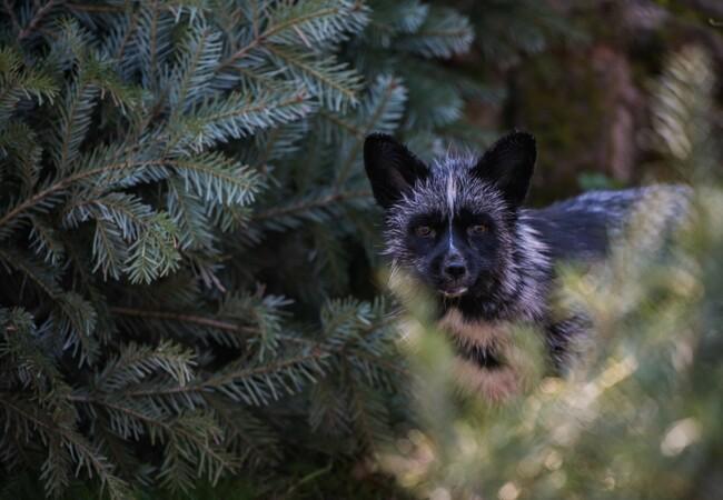 Silver fox Jackson