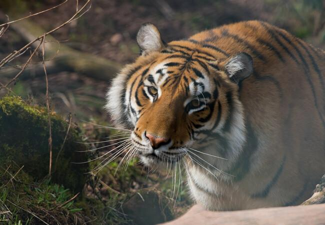 Tigress Bela looking beautiful in the sunshine at TIERART