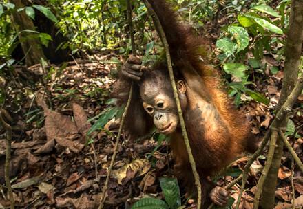 Orangutan auf Baum
