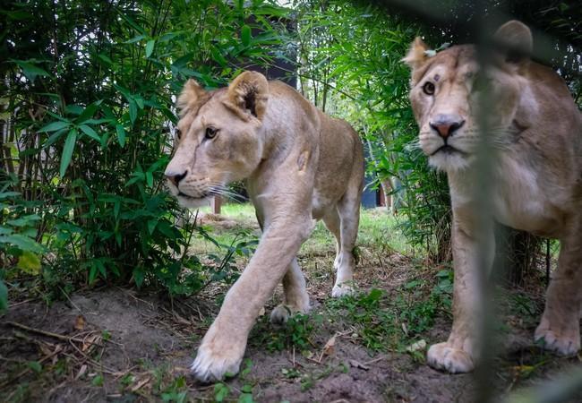 Löwinnen erkunden ihr neues zu Hause