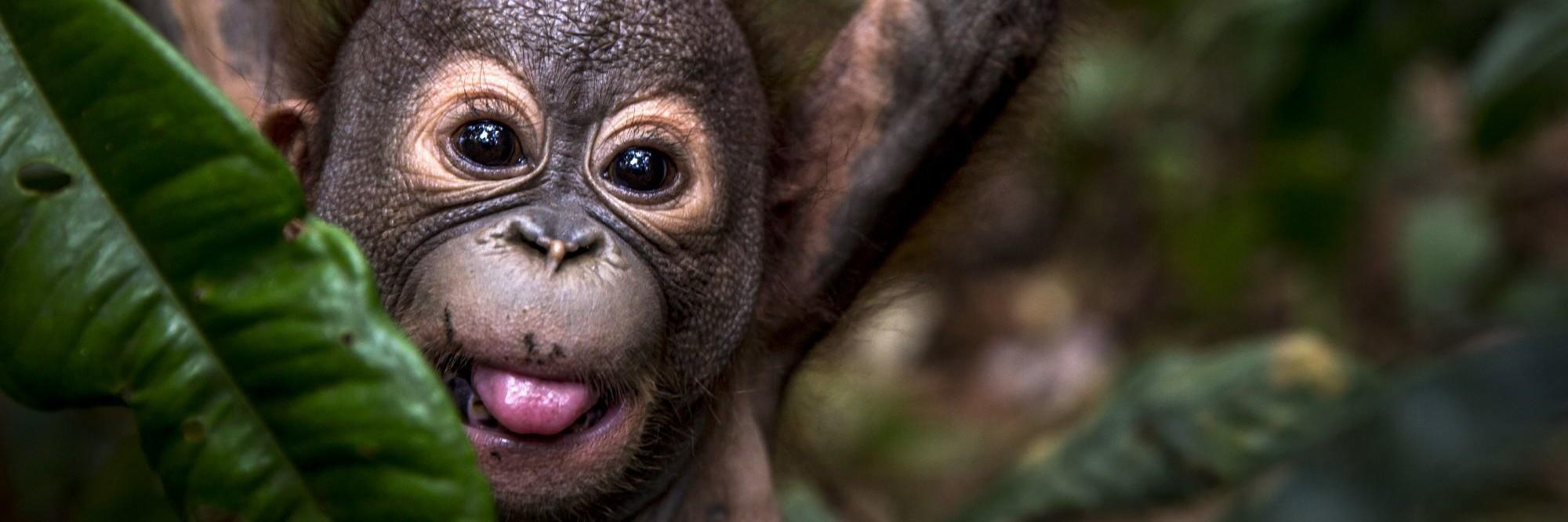 Un orang-outang orphelin