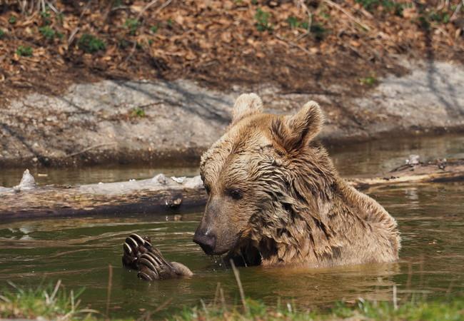 Bei dem Bad nimmt Bär Vinzenz seine Krallen genau unter die Lupe