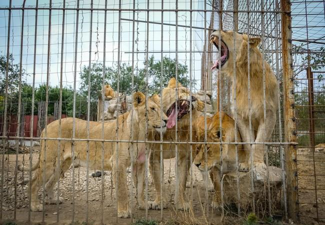 Löwen im zu kleinen Käfig in Rumänien