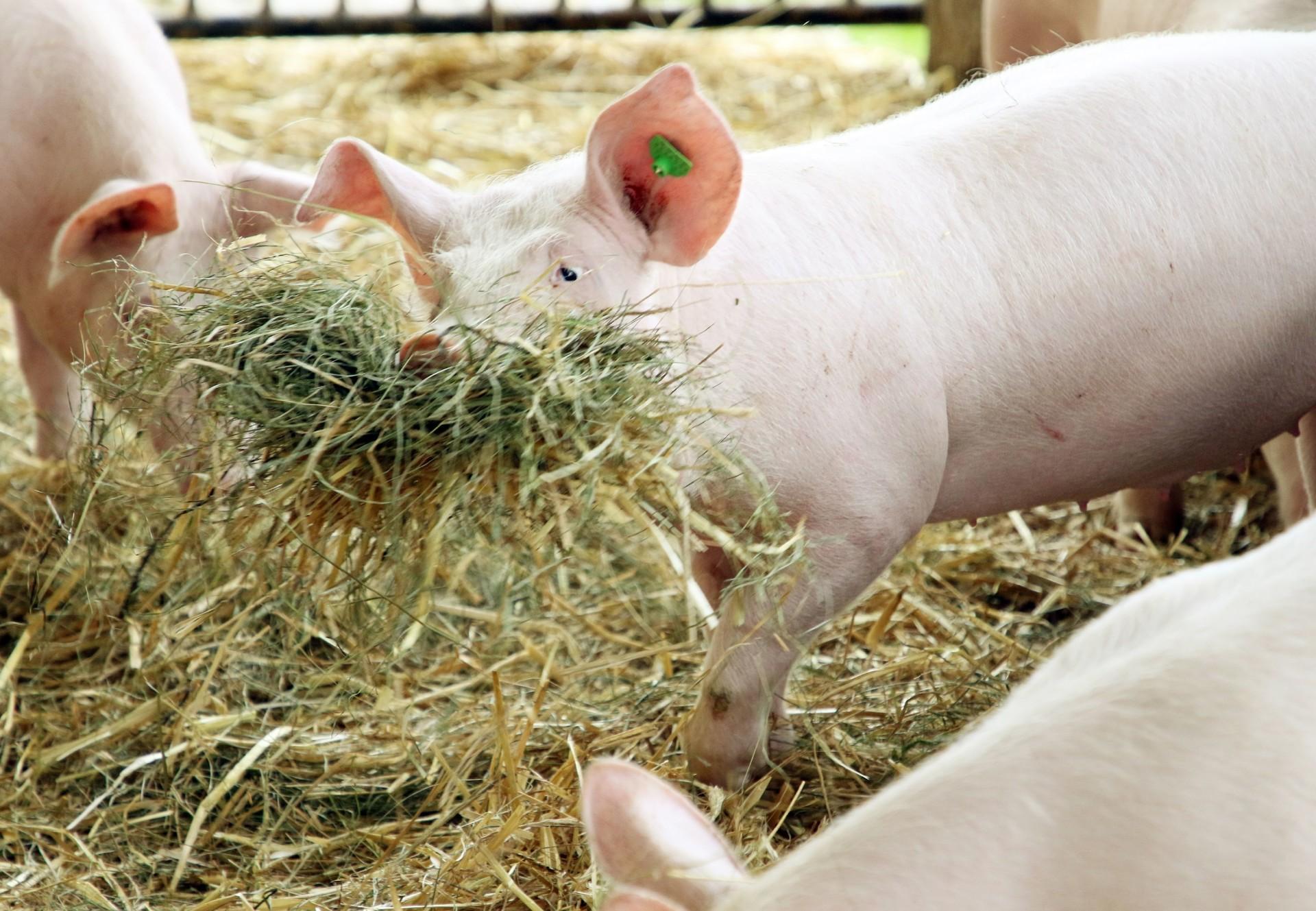 Schweine spielen im Stroh