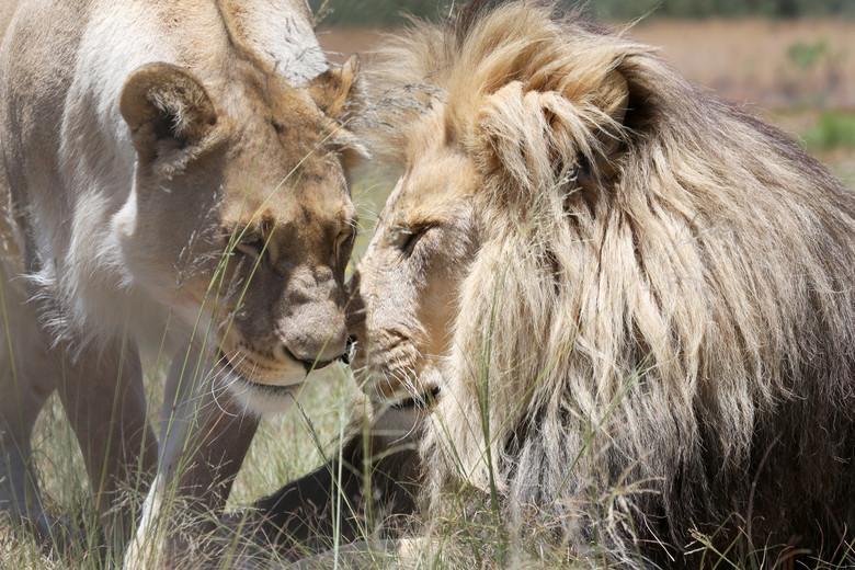 Een leeuwin en een leeuw