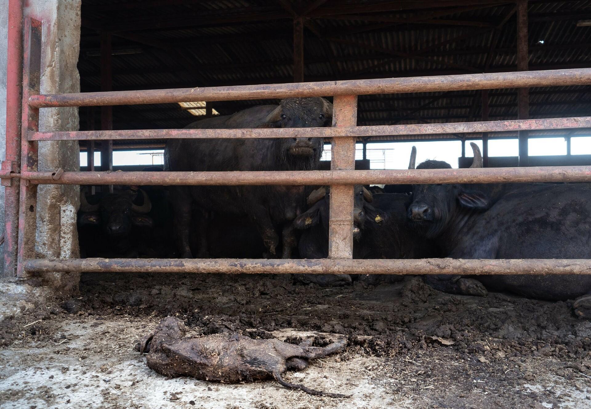 Suffering Buffalo calf