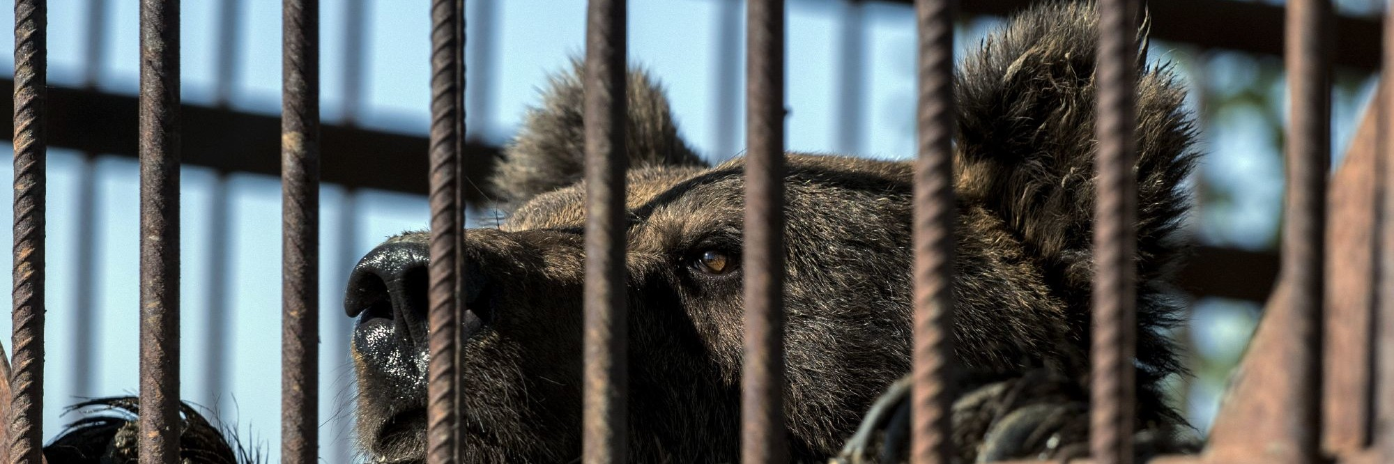 Bären in Serbien