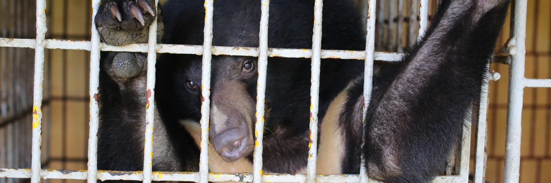 Bär Cam in seinem Käfig in Vietnam