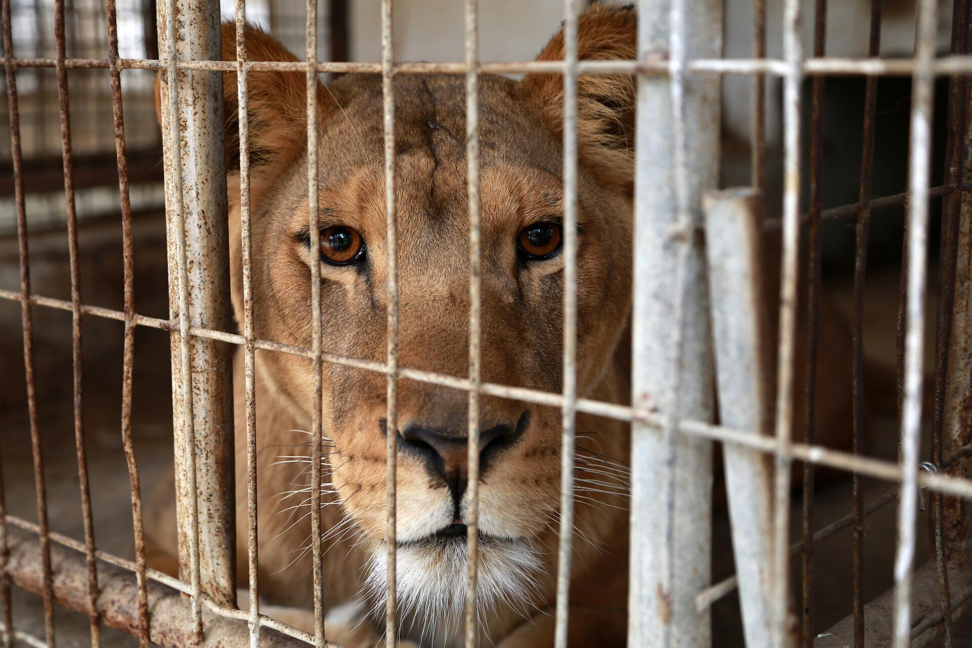 Lioness behind bars