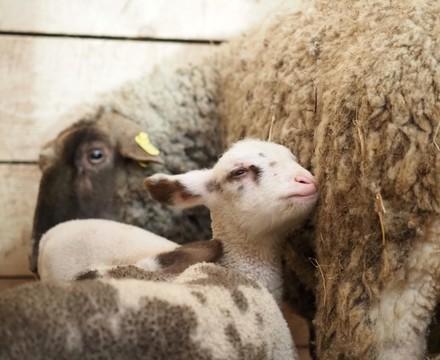 Lamb Marțișor
