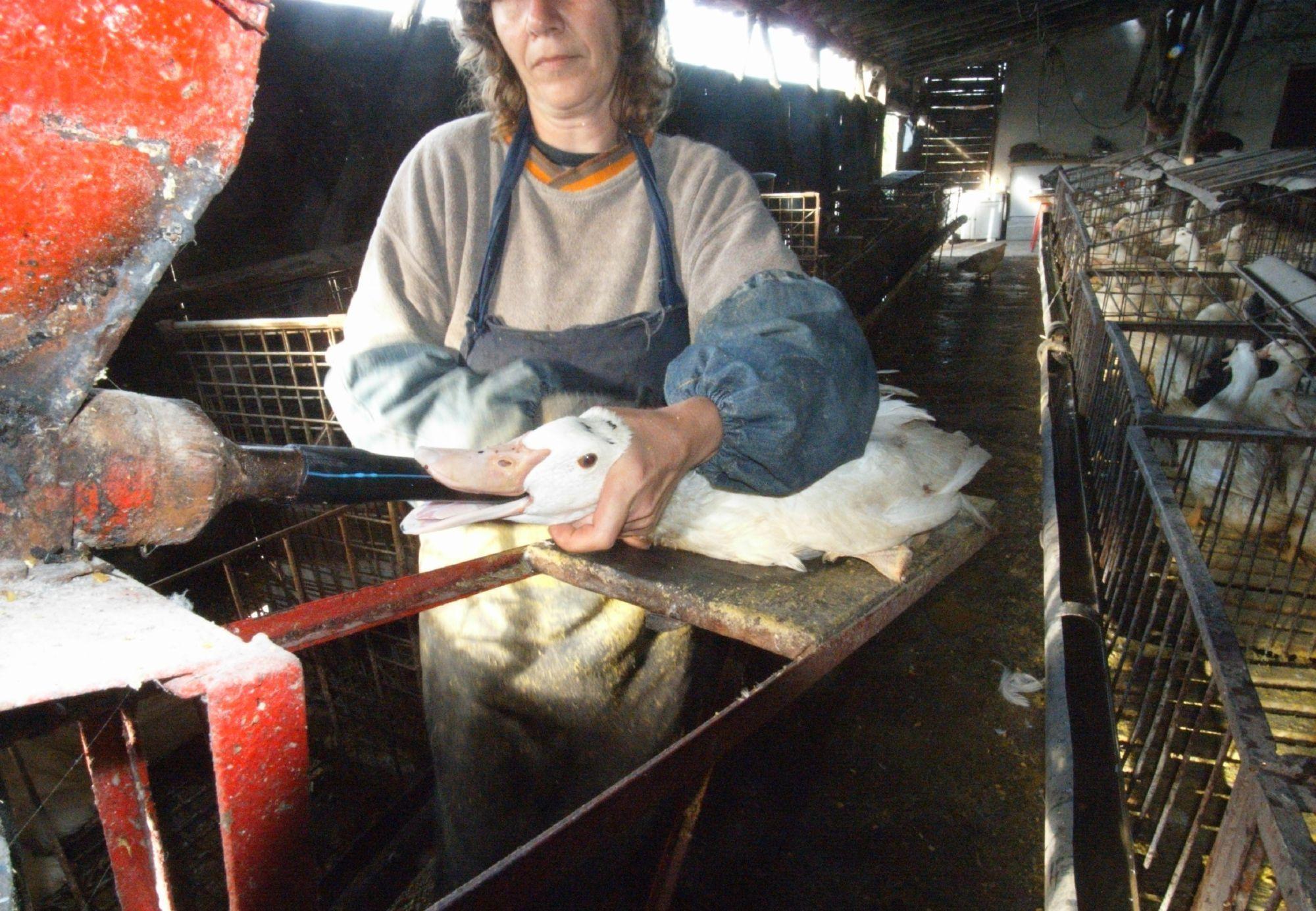 Foie Gras Production in Bulgaria