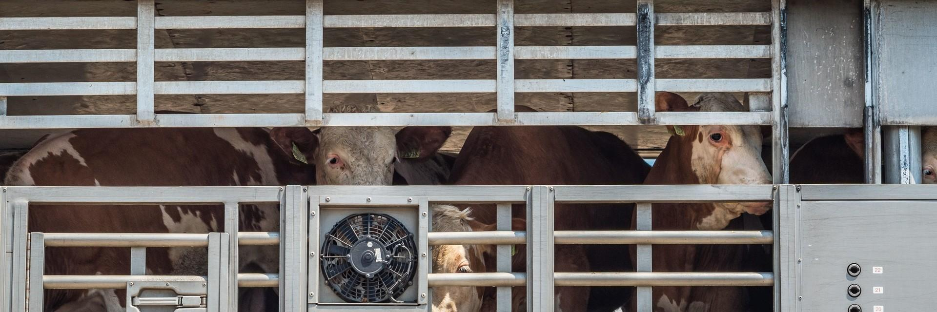 Cattle on a truck