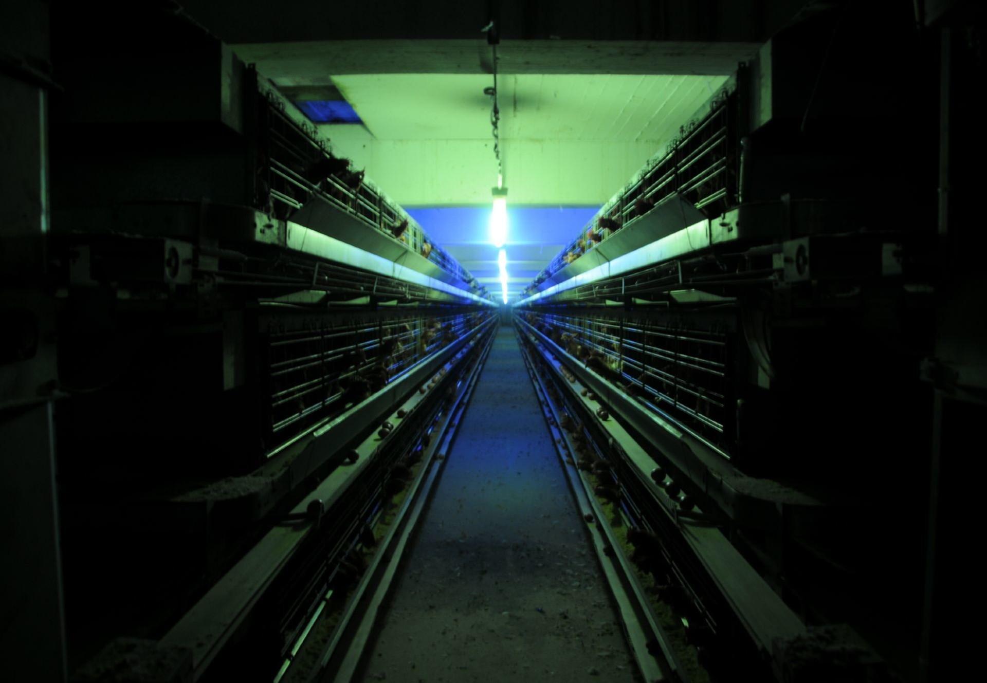 Oeufs issus d'élevage en batterie
