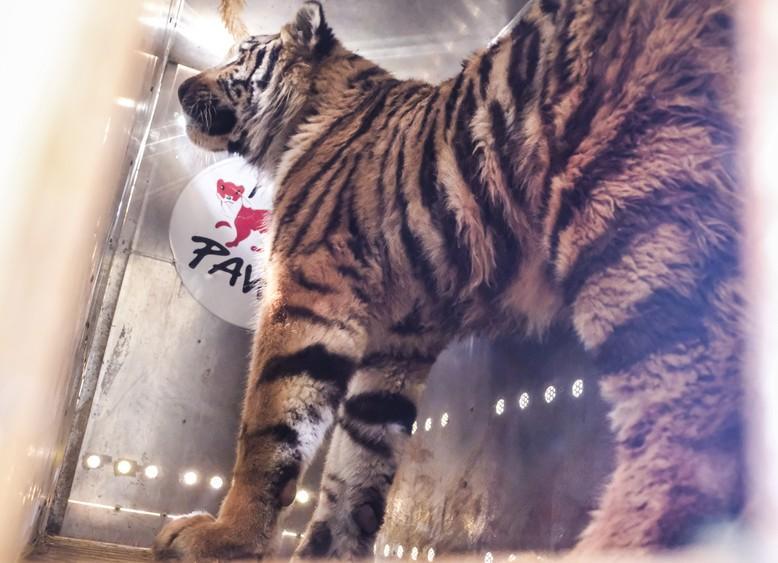 tiger-four-paws