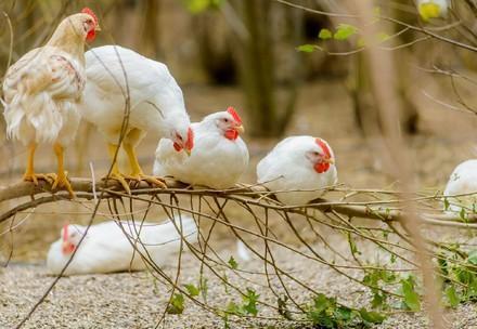 Huhn auf einer Wiese
