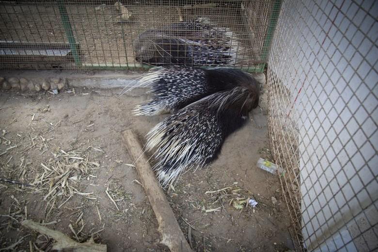 Auch die Stachelschweine leben völlig verwahrlost im Rafah Zoo in Gaza (c) VIER PFOTEN