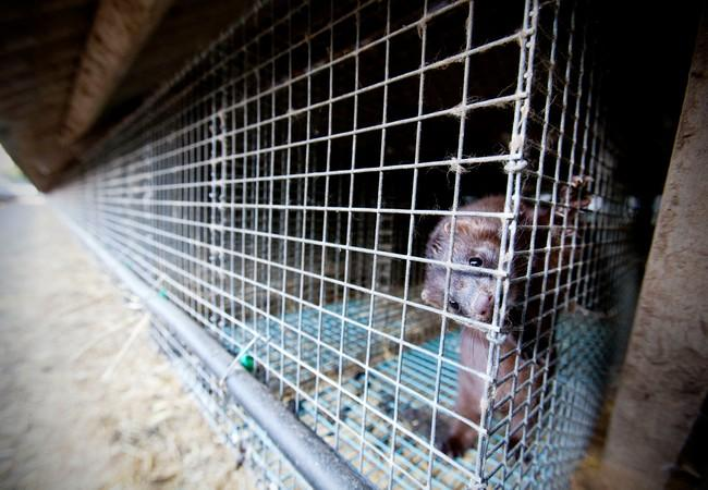 Ein Nerz eingesperrt in Käfig