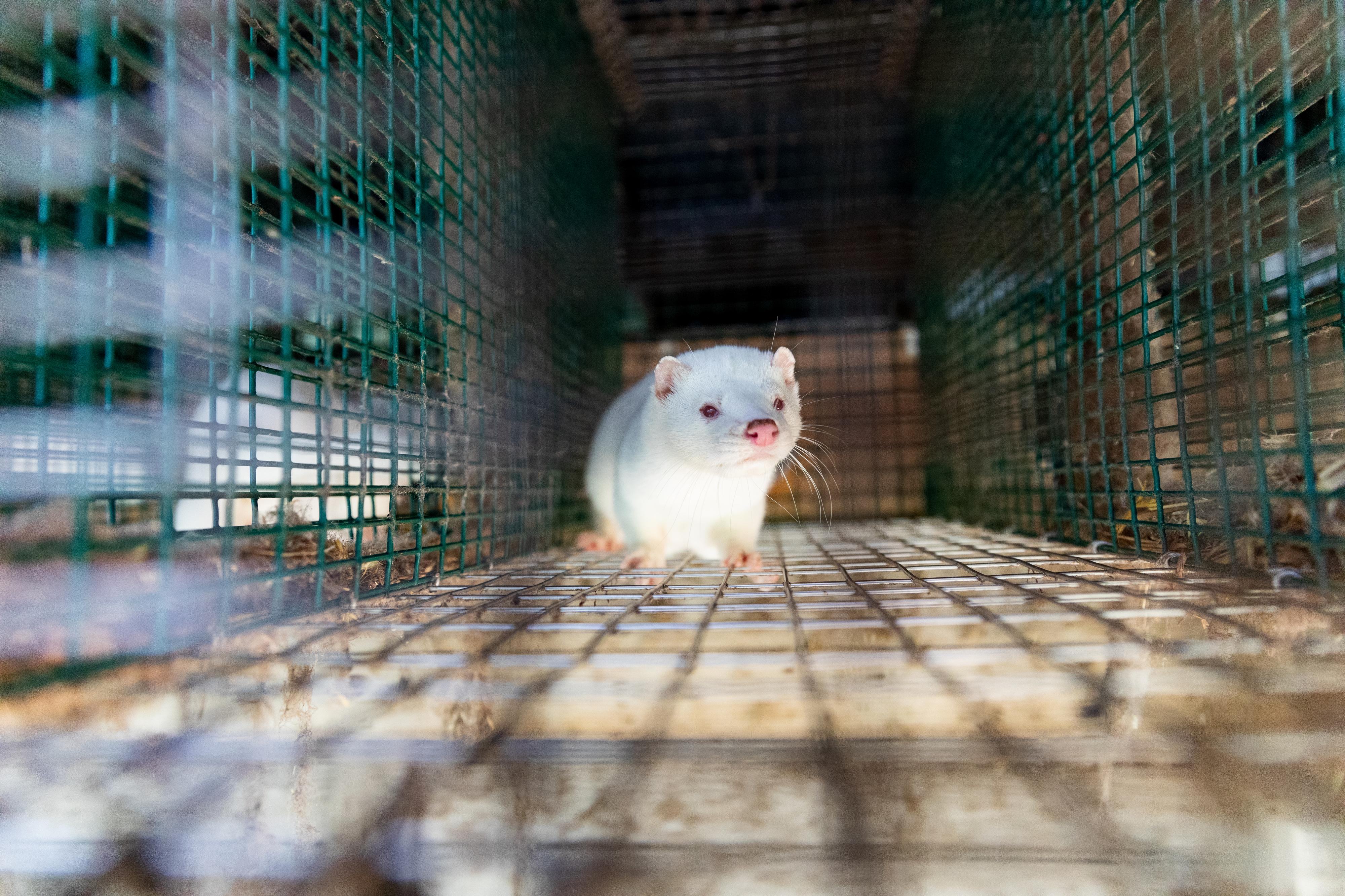 Mink in cage