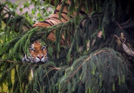 Verteckter Tiger