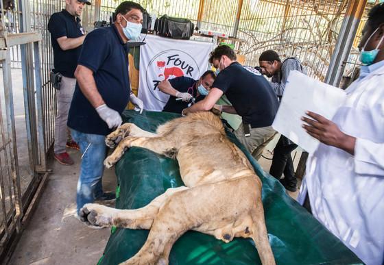 Löwin im Sudan wird untersucht