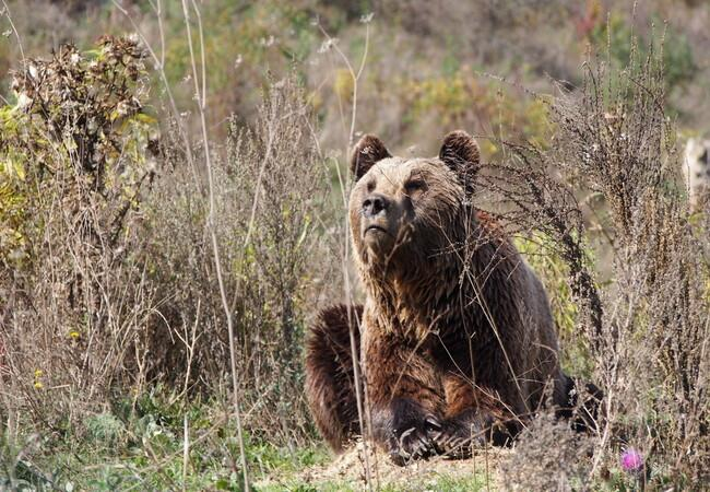 Bear Mal daydreaming at BEAR SANCTUARY Prishtina