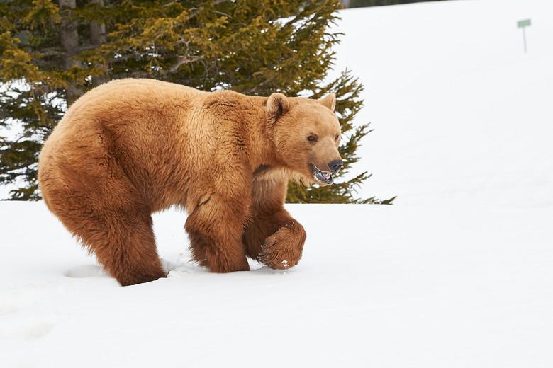 Napa profitant des dernières neiges à Arosa Terre des Ours