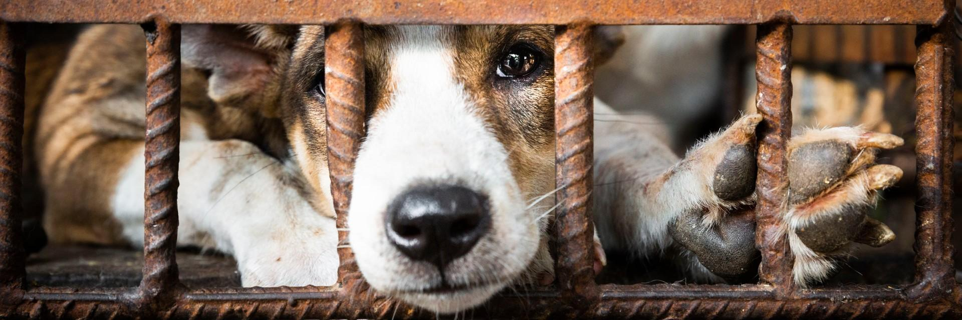 Dog looking through cage in the dog meat trade