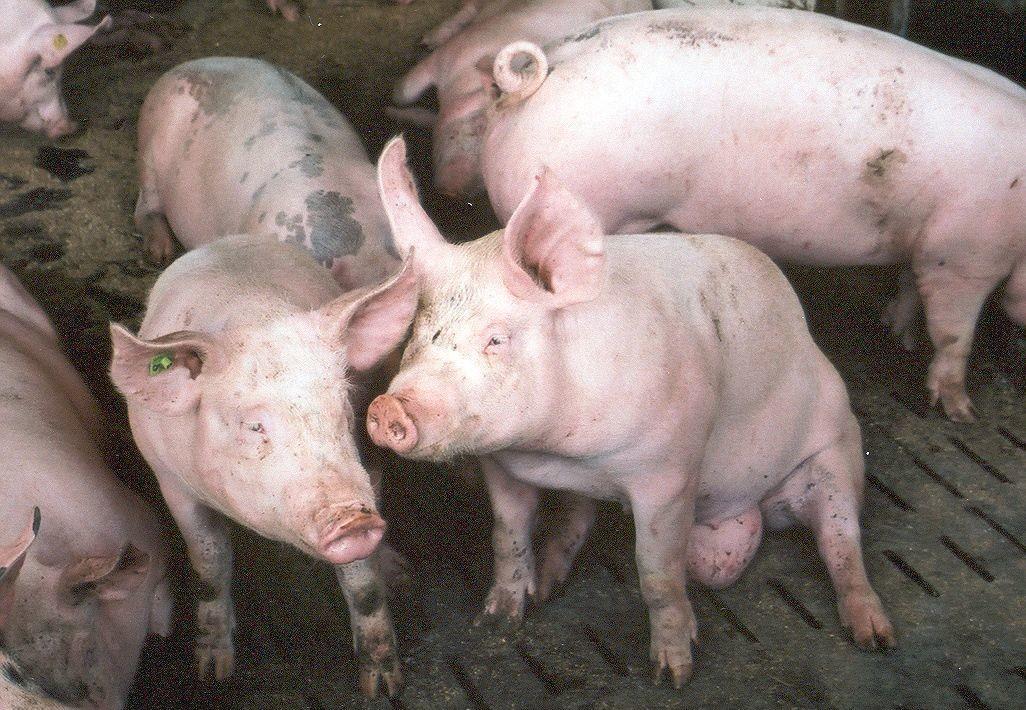 Mastschweine auf Vollspaltenboden