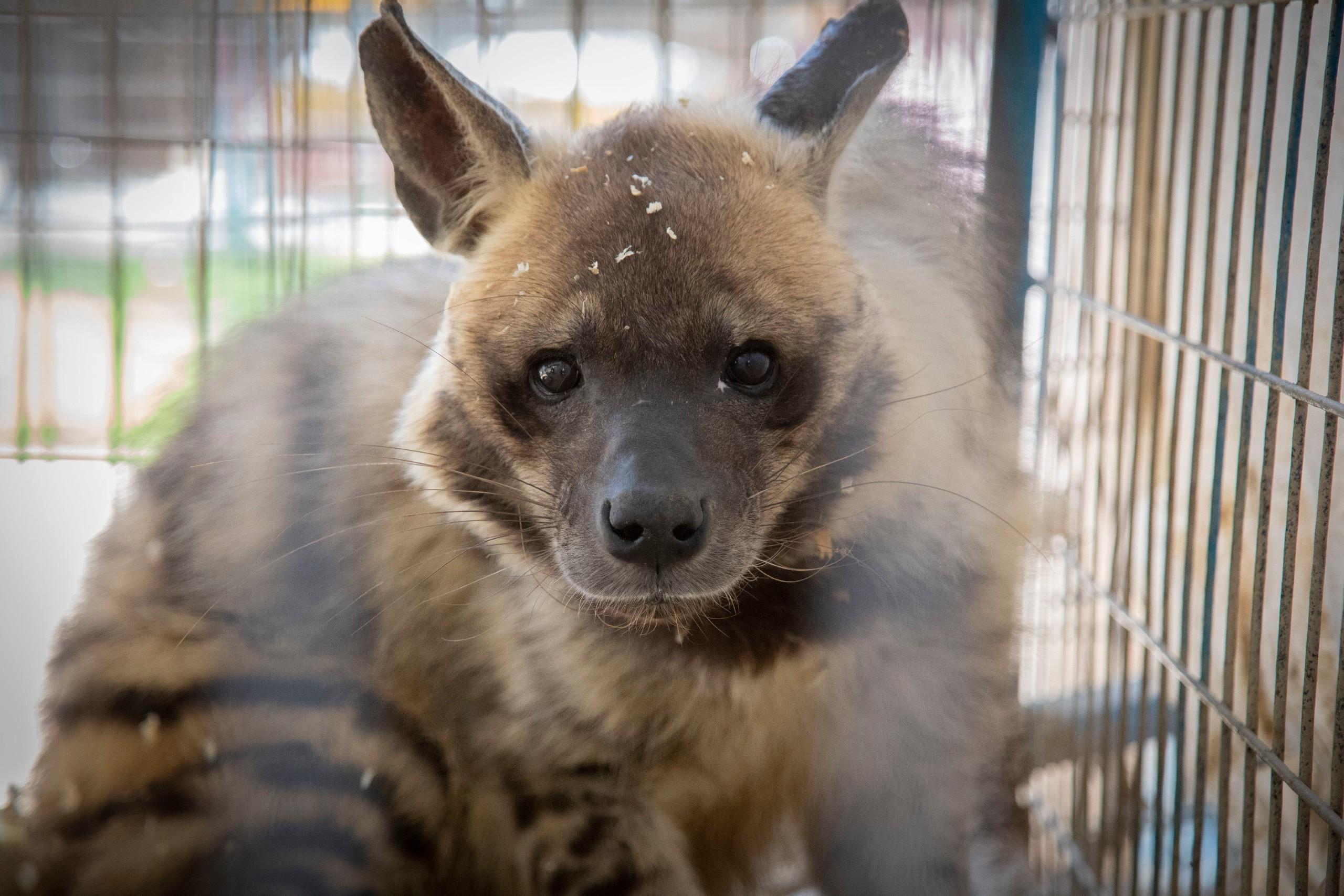 Trauriges Bild: Auch die Hyäne ist völlig verängstigt. (c) VIER PFOTEN