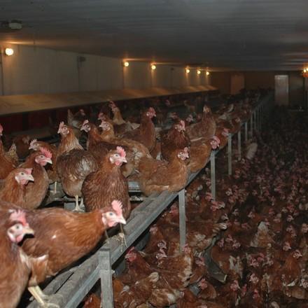 2009   Chicken, layers   Germany   Deep Litter   Copyright Notice: © VIER PFOTEN International   © Status: All Rights