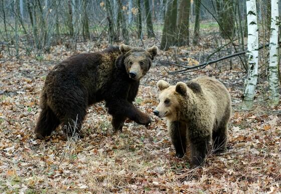 Bears in Bulgaria