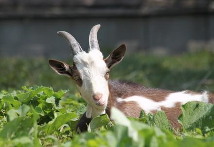 Goat enjoying eating the vegetables