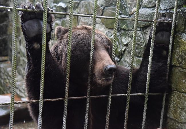 Un ours en Ukraine