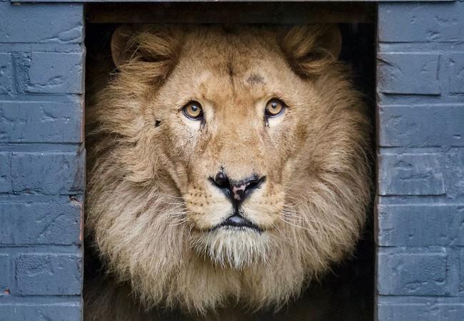 Leeuw Bobby kijkt naar buiten