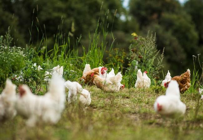 Weisse Hühner in Bio-Haltung auf einer Wiese