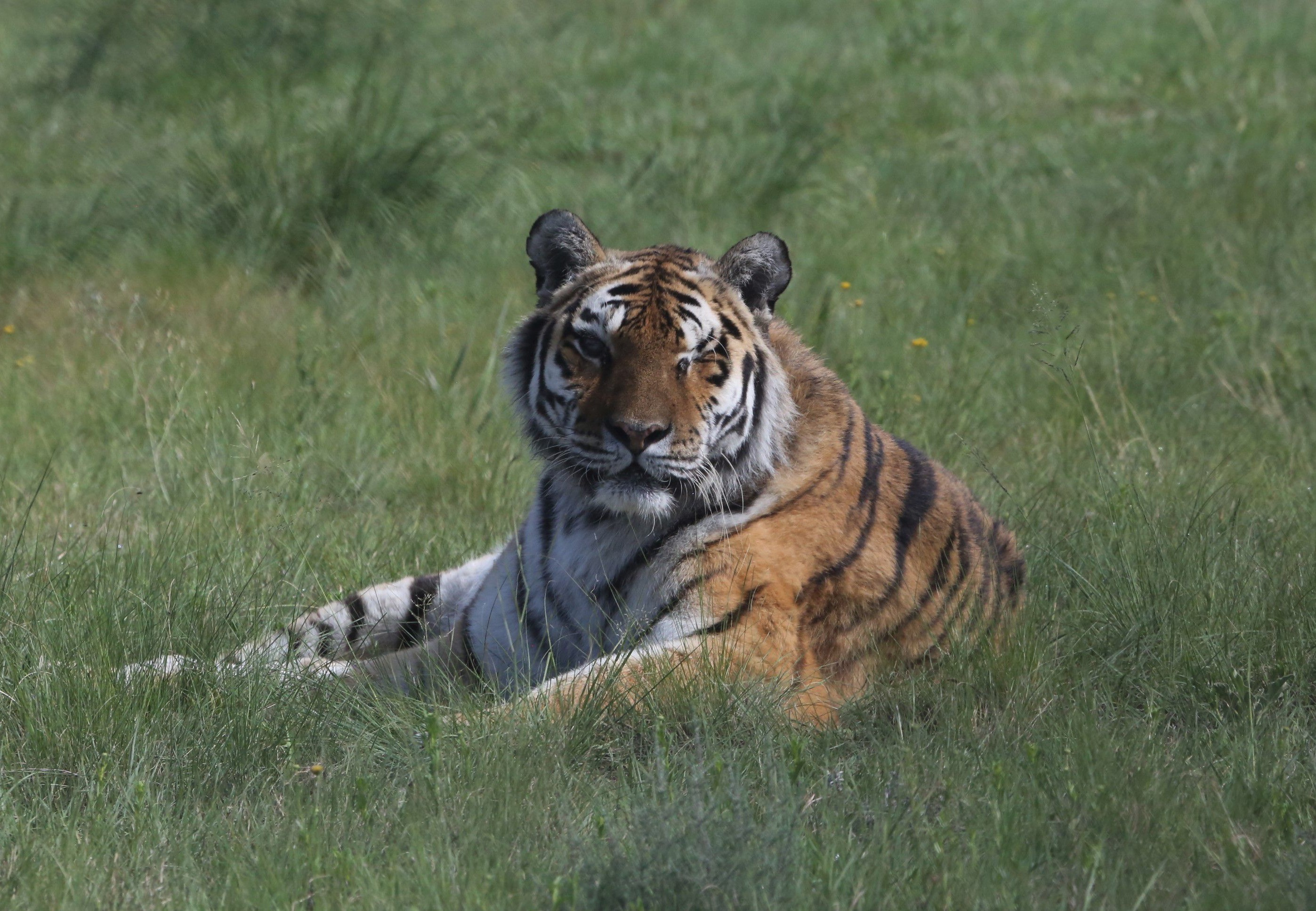 Tigress Juno at LIONSROCK