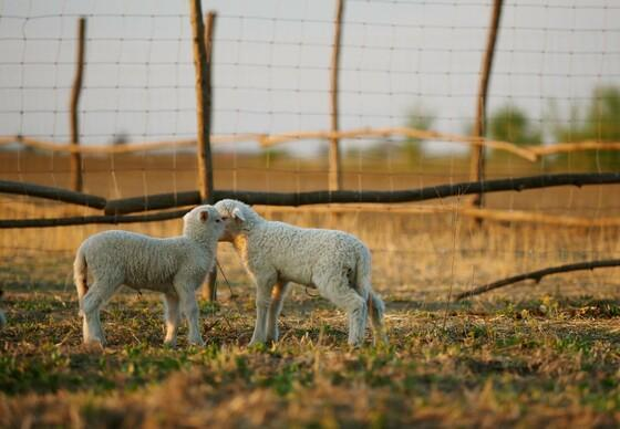 Two rescued lambs