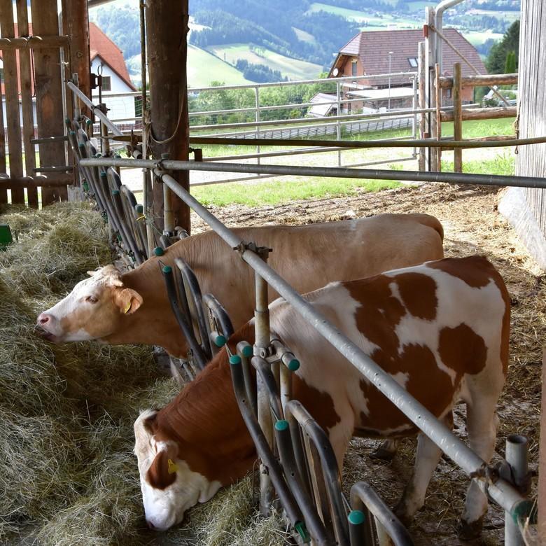 """Rinder mit """"Tierschutz-kontrolliert""""-Haltung"""