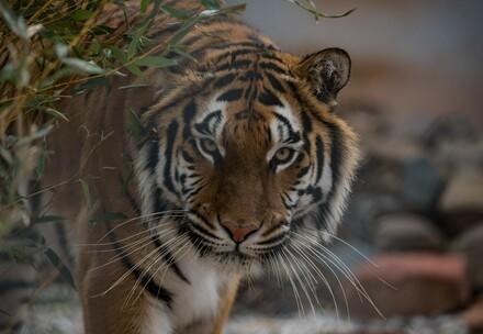la tigresse Cara