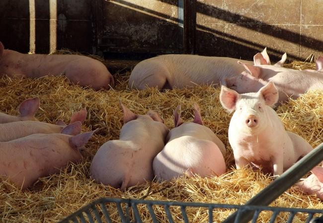 Schweine genießen ein weiches Strohbett